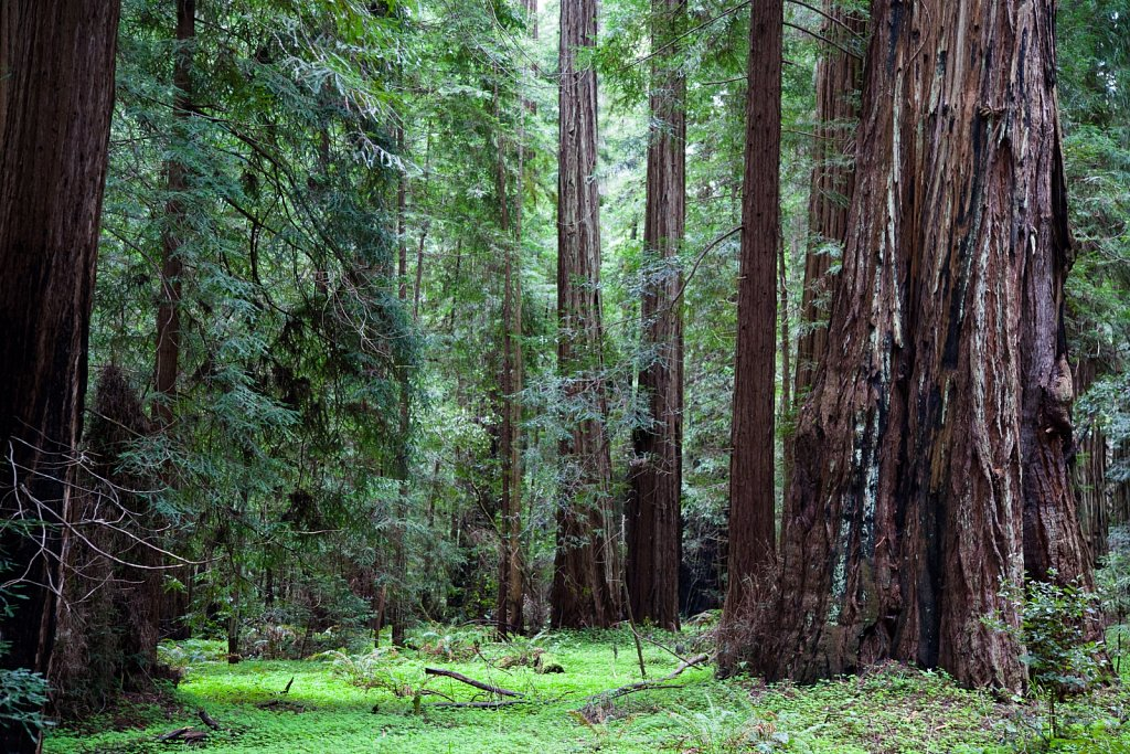Redwoods above a clover forest floor at Montgomery Woods in Cali