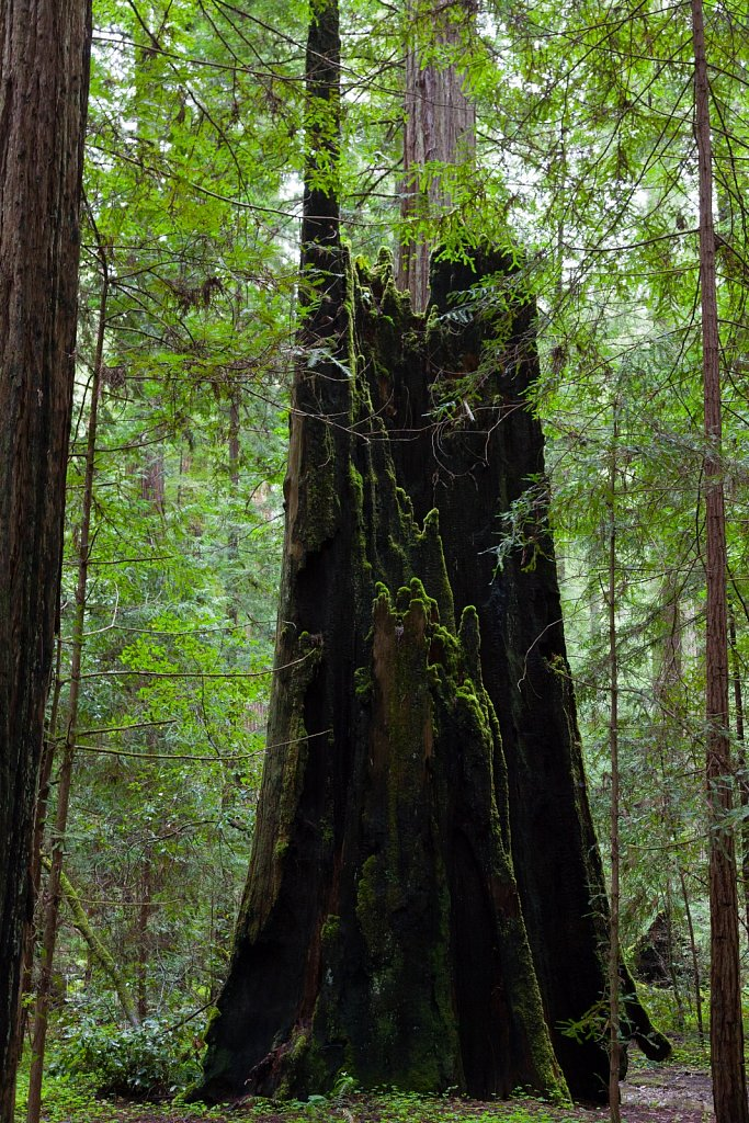 Burnt redwood in black and green in Montgomery Woods