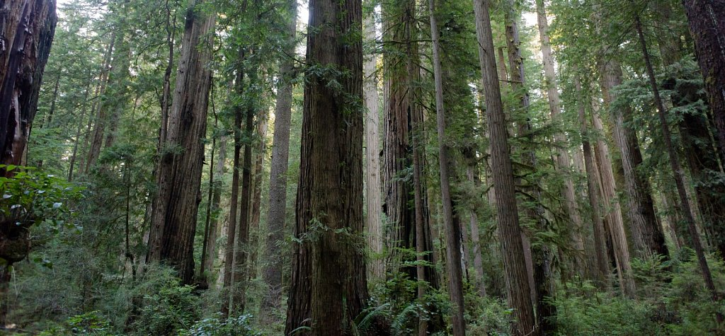 Old growth redwood forest primeval