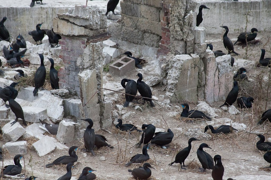 Brandts Cormorants have taken over Alcatraz.