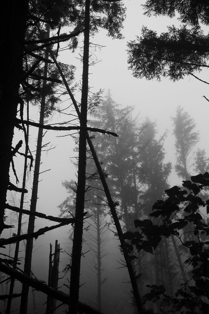 Silhouetted trees in the fog.