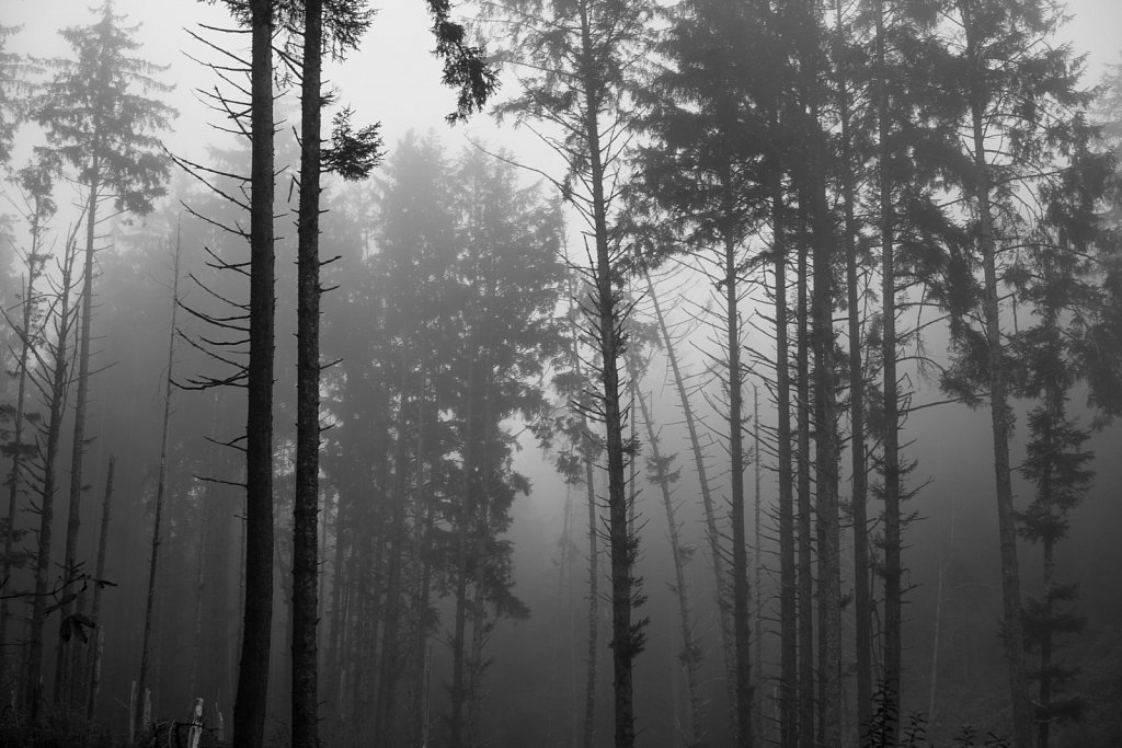 Trees silhouetted in the fog
