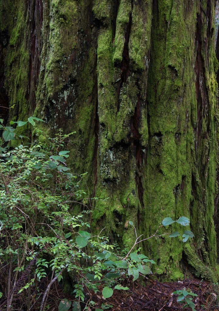 Against a mossy redwood wall