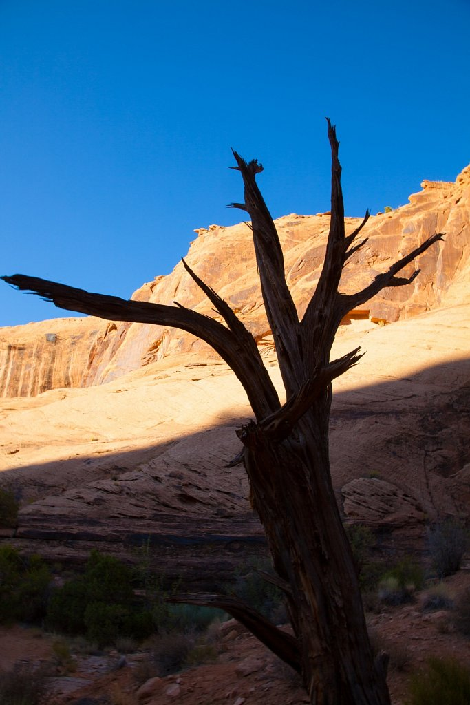 Dead juniper tree and canyon wall in Negro Bills Canyon in Utah