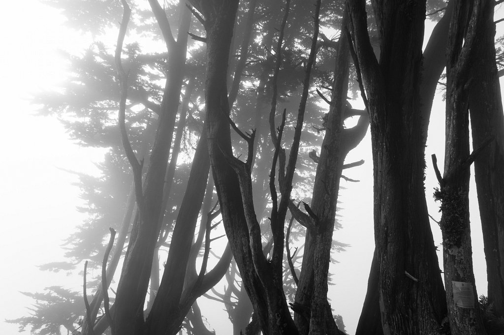 Fog and Cypress trees in the Sunset district of San Francisco