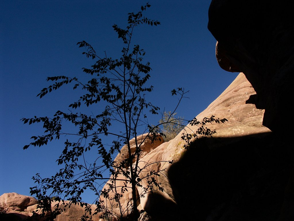 Olive tree silhouetted in a sandstone canyon, Garden of the Gods
