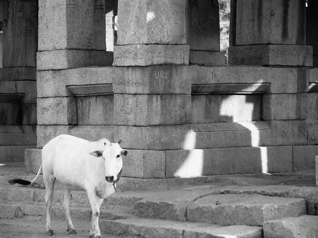 White cow in front of a Hampi Ruin
