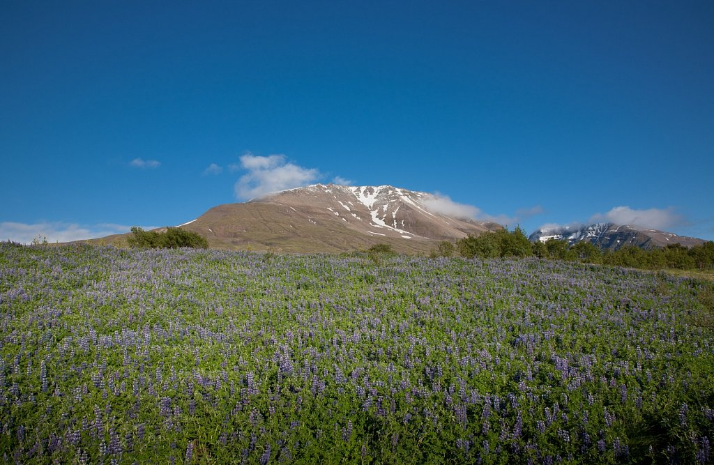 Snow capped mountain above field of purple lupine flowers