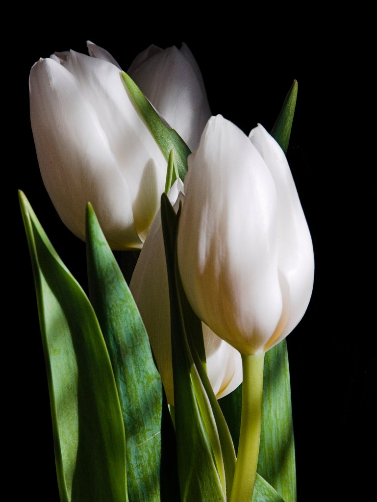 Four white tulips in striped light against a black background