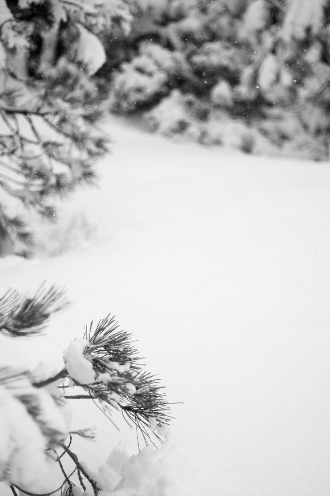 Snow falling on snow and pines
