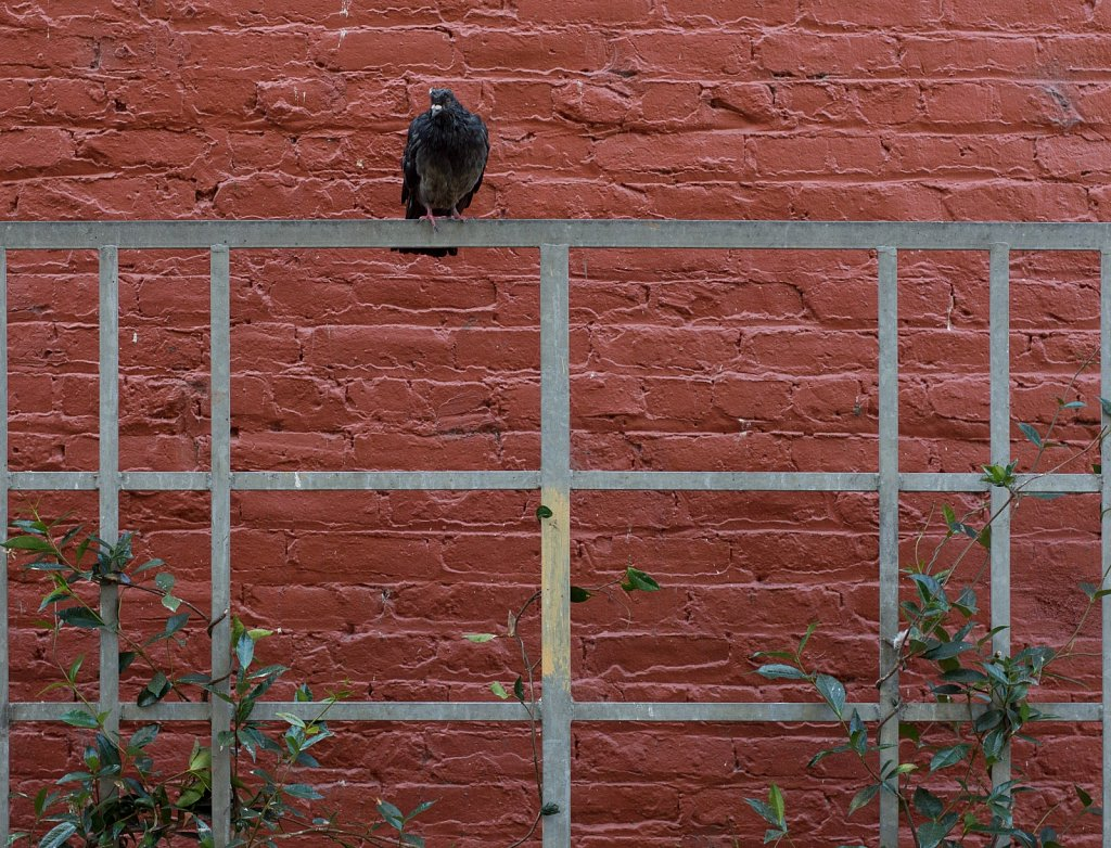 Pigeon on a metal fence with vines