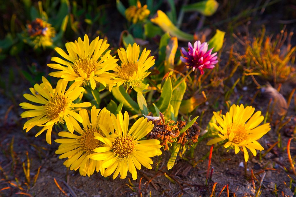 Mostly yellow and one pink flowers on the beach