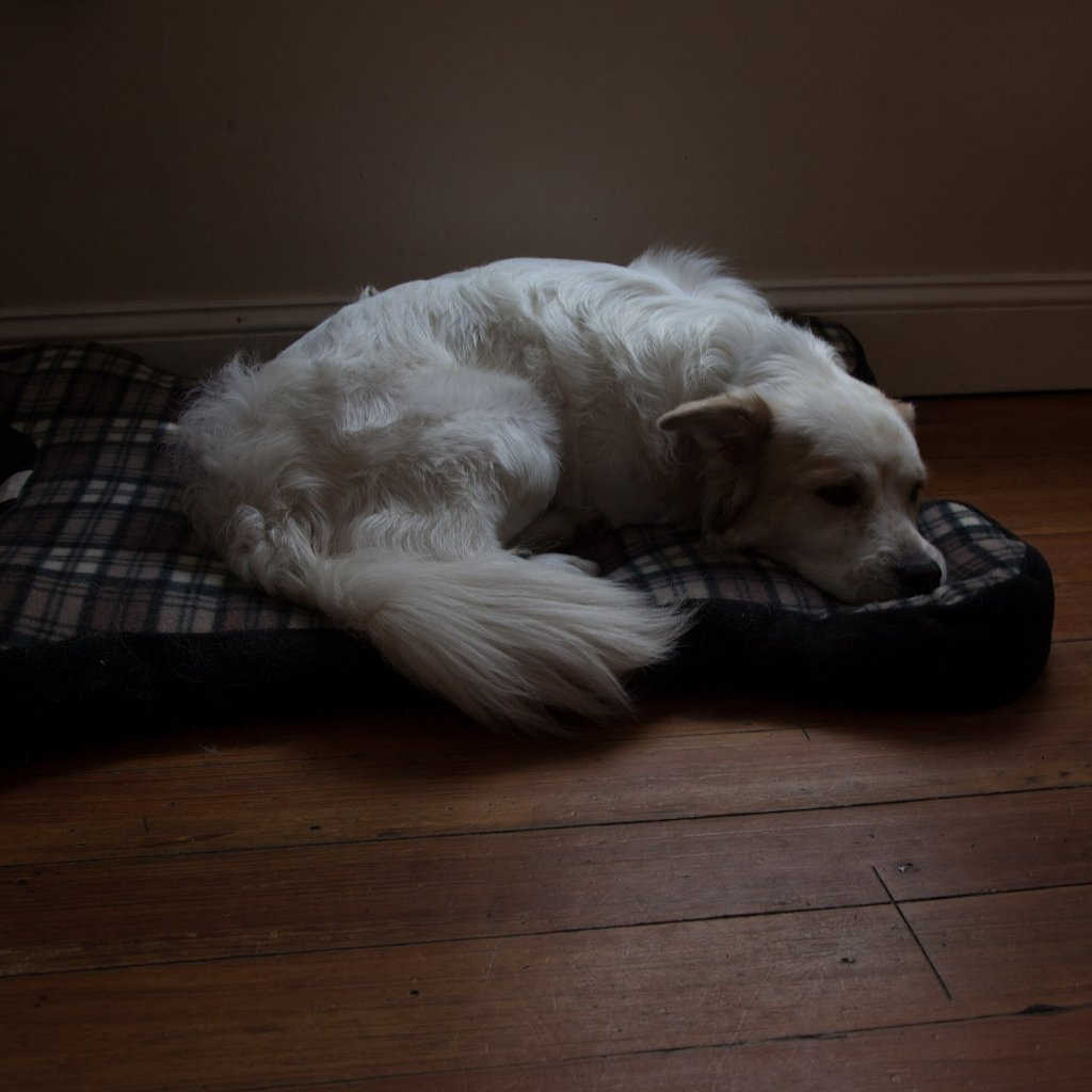 dog resting on a bed with light shining down