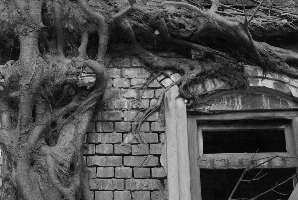Banyan tree and wall grow together
